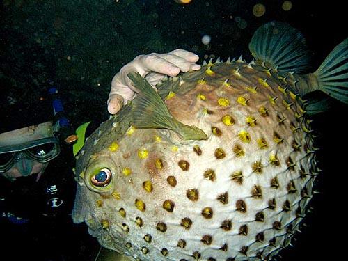 Еще интересная рыбка – рыба-шар. При опасности надувается как мячик.