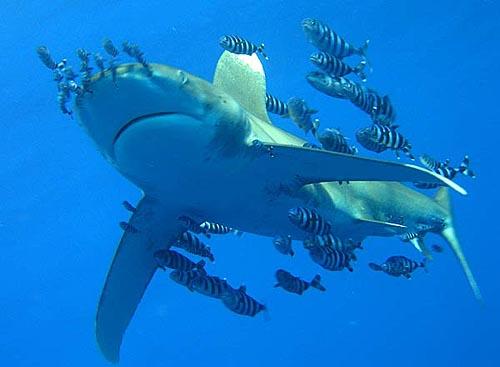 Длиннокрылая акула в сопровождении лоцманов